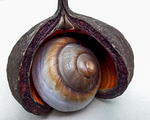 Samenkapsel mit Muschel und Naturpigmenten.